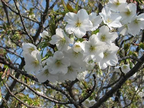 Sakuras2